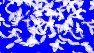 Buy Animated video transition falling feather wings on blue chroma key