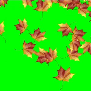 Buy autumn leaves video background